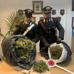 Sette chili di marijuana nascosti nel casolare. Allevatore arrestato dai Carabinieri.